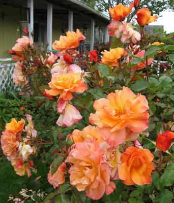 Golden Roses, oregon grown roses