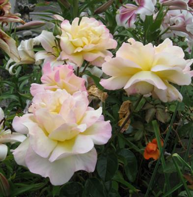 Pretty white roses, with tints of yellow and pink.