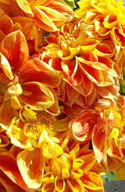 close up of dahlia's at a flower stand
