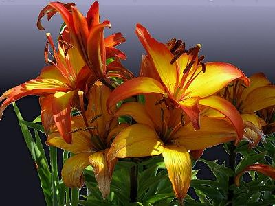 Fire Red Lillies