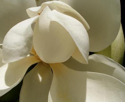 Magnolia Flower, Southern Mangnolia