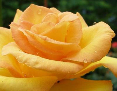 orange rose, rose picture, rose flowers