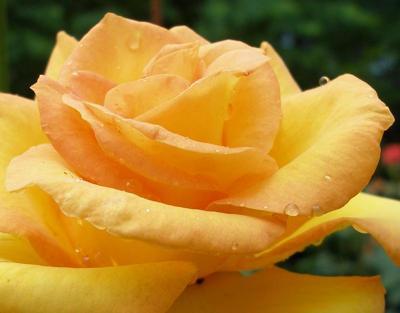 orange rose, rose picture, rose flowers