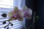 yellow and purple orchid flower picture