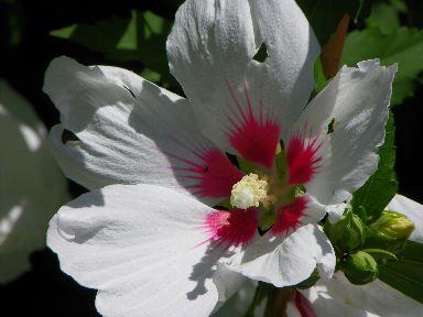 Rose of Sharon, Pretty in White,  althea.