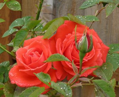 Red buoquet roses