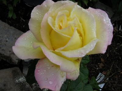 The peace rose, yellow with pink edges