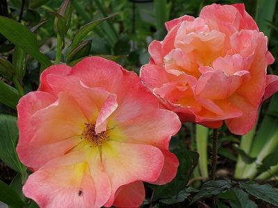 Tri colored Rose picture