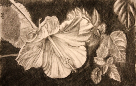 pencil flower drawing hibiscus