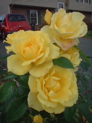 growing roses picture of yellow rose
