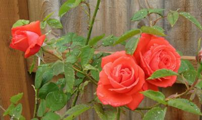 Red roses picture