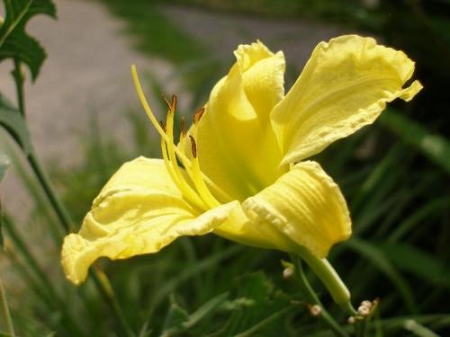 yellow daylily blossom